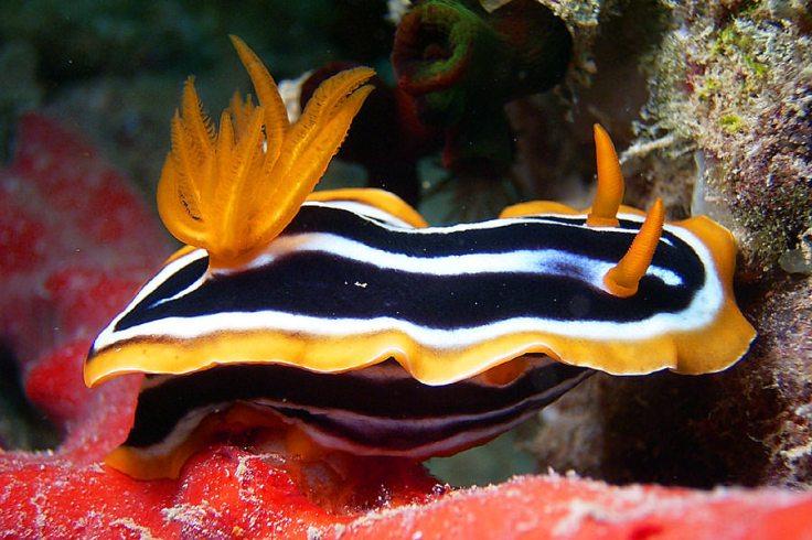 Pyjama sea slug